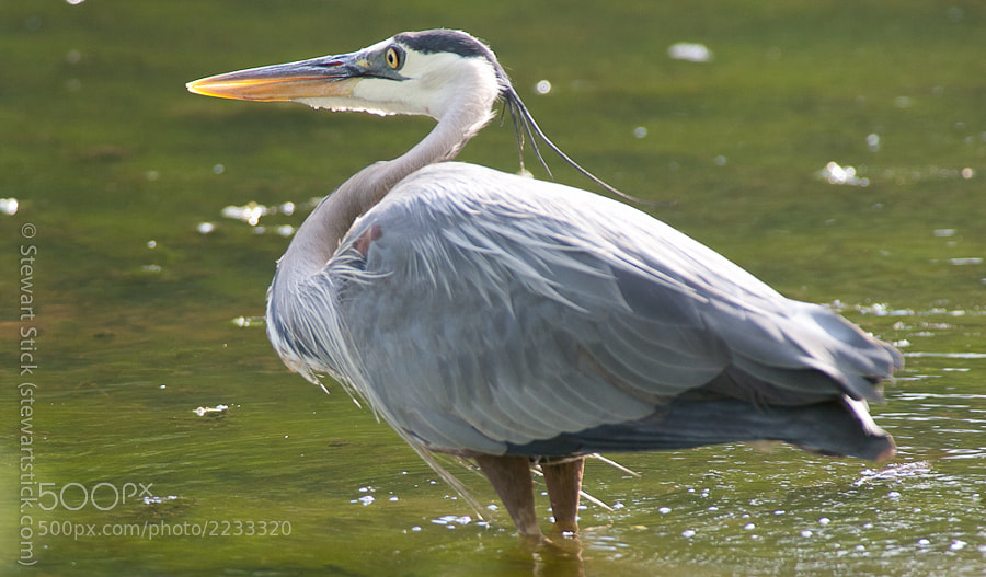 Blue Heron by Stewart Stick (stickshots)) on 500px.com