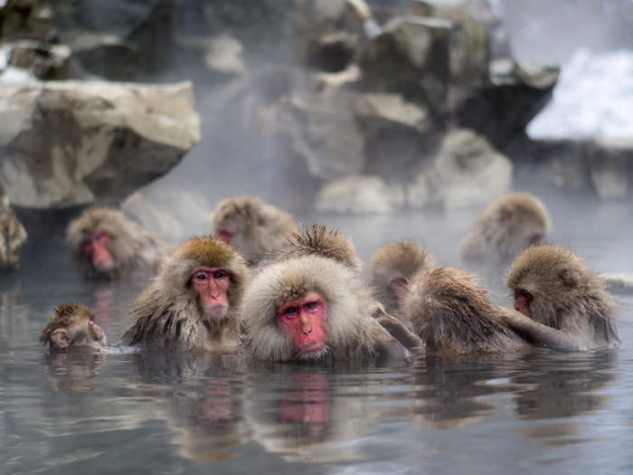 Photograph Snow Monkeys by Lawrence Ripsher on 500px