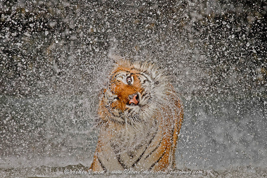 Tiger photography -2012 Nat Geo Recognition by Ashley Vincent on 500px.com