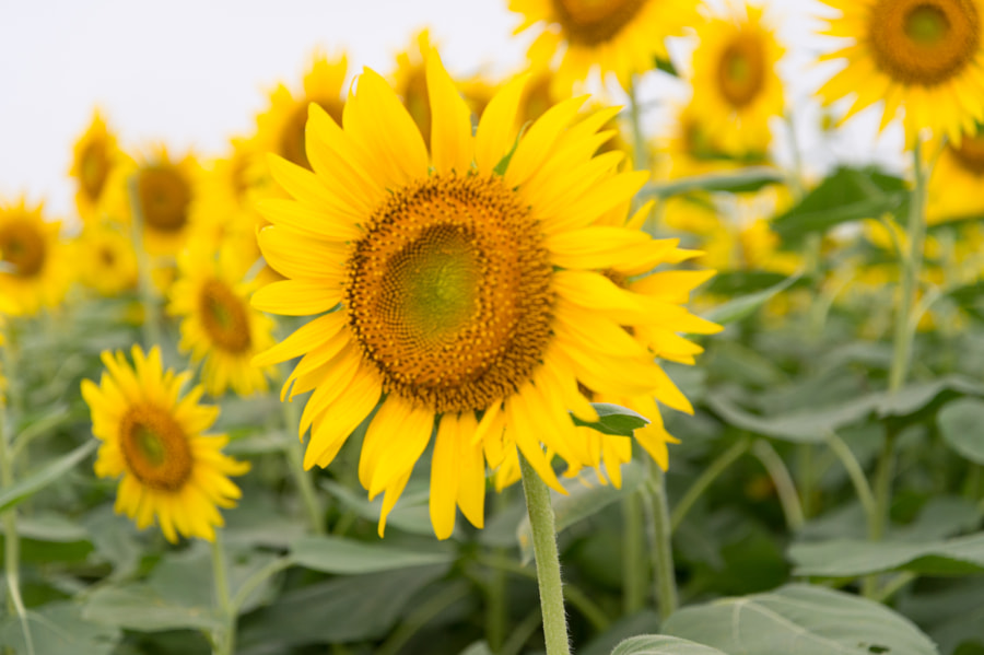 Sunflower by Kou Gondaira on 500px.com
