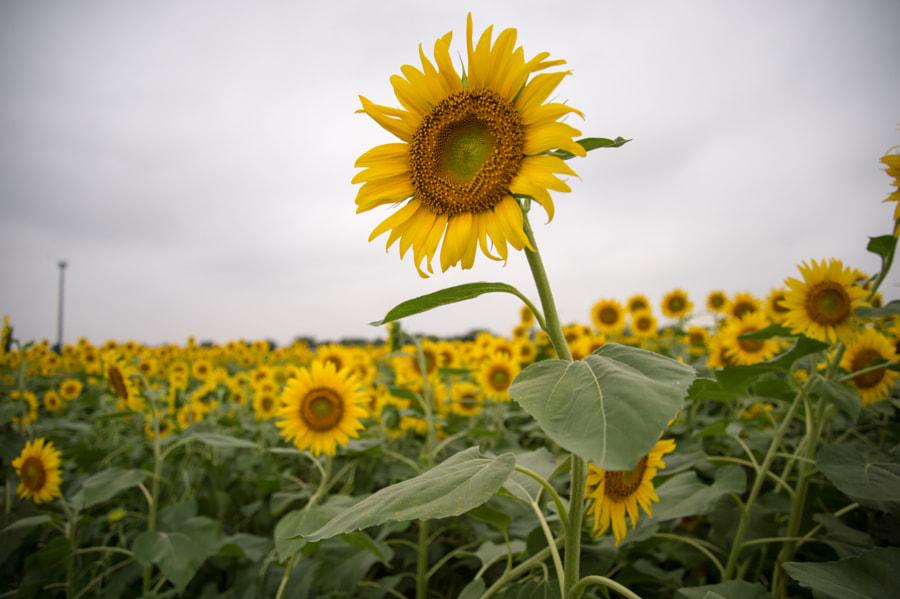 Sunflower by Kou Gondaira on 500px.com