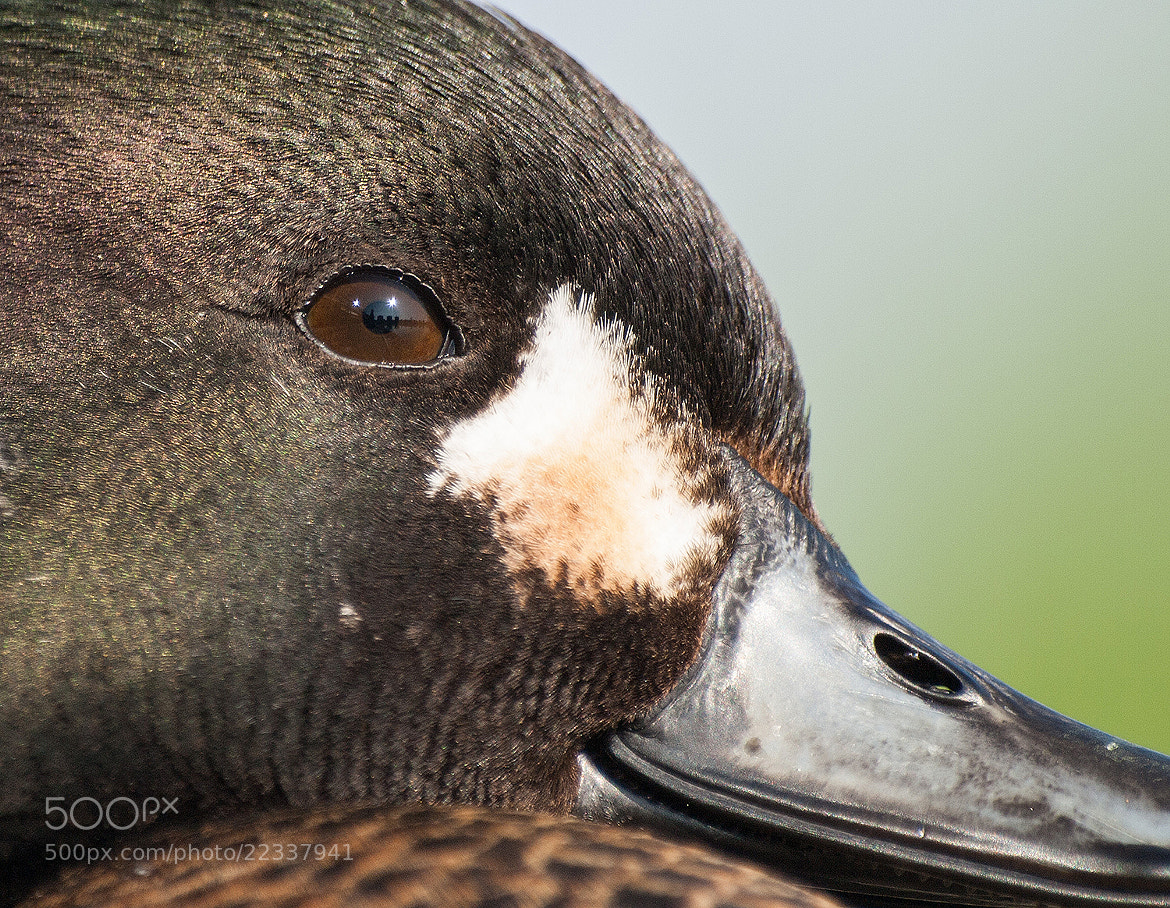 Photograph Hybrid duck by Tihamér Balla on 500px