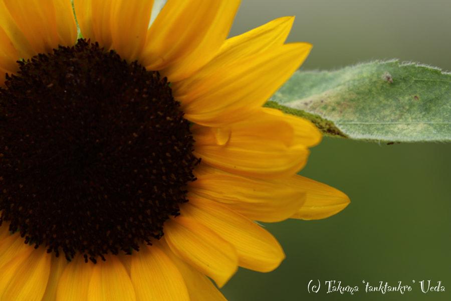500px.comのTakuma UedaさんによるSunflower's tears -ひまわりの涙-