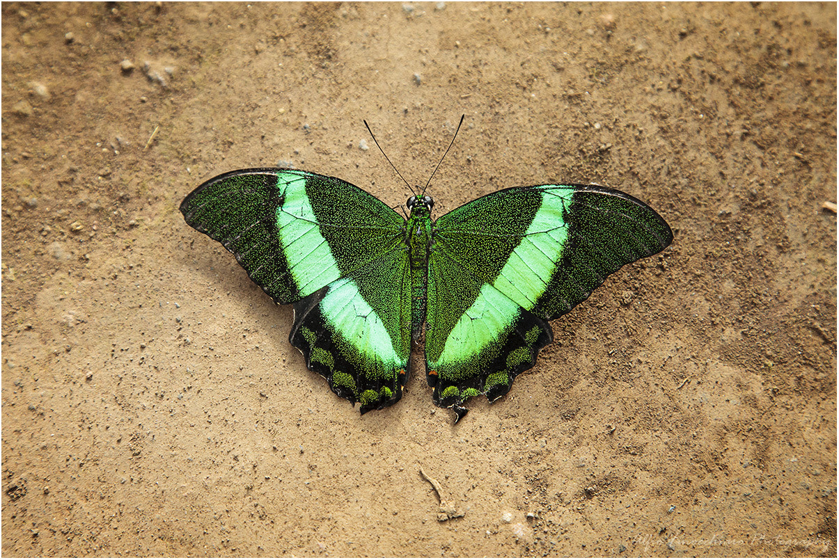 Photograph Green butterfly by Alfio Finocchiaro on 500px