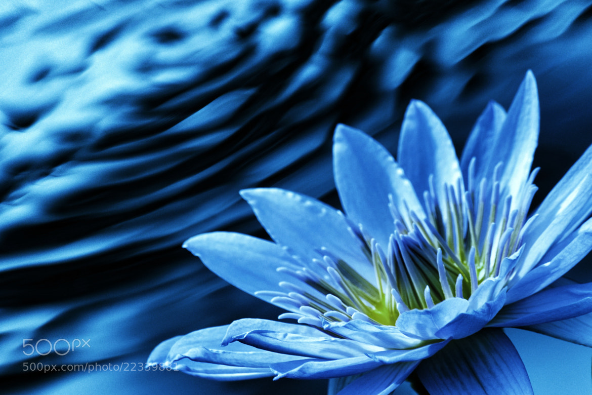 Photograph waterlily by yu yu on 500px