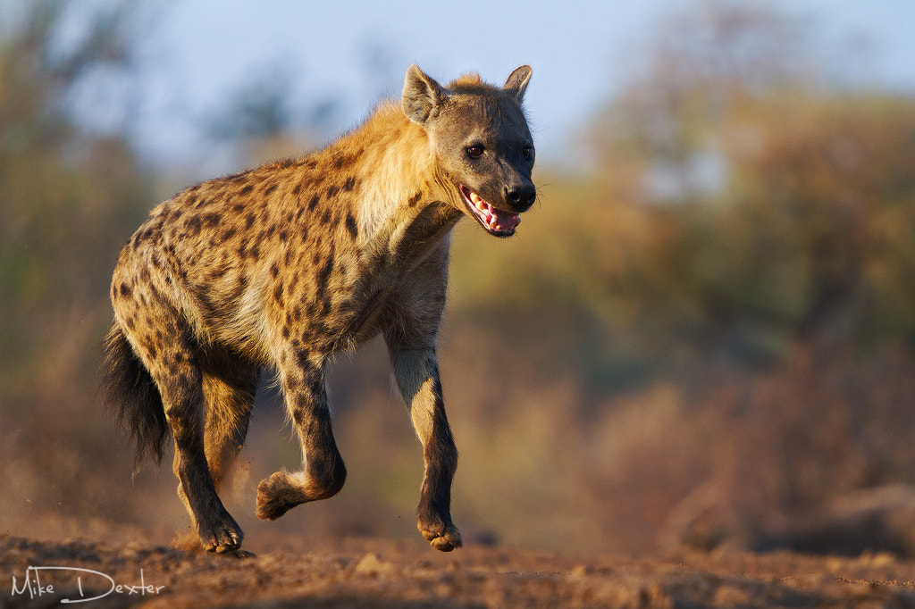 Photograph Hyena running by Mike Dexter on 500px