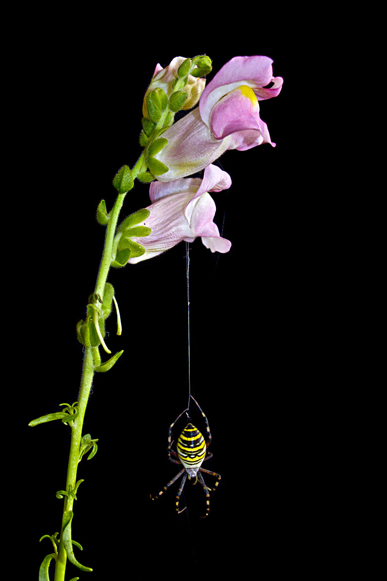 Photograph Wasp spider by Vendenis   on 500px
