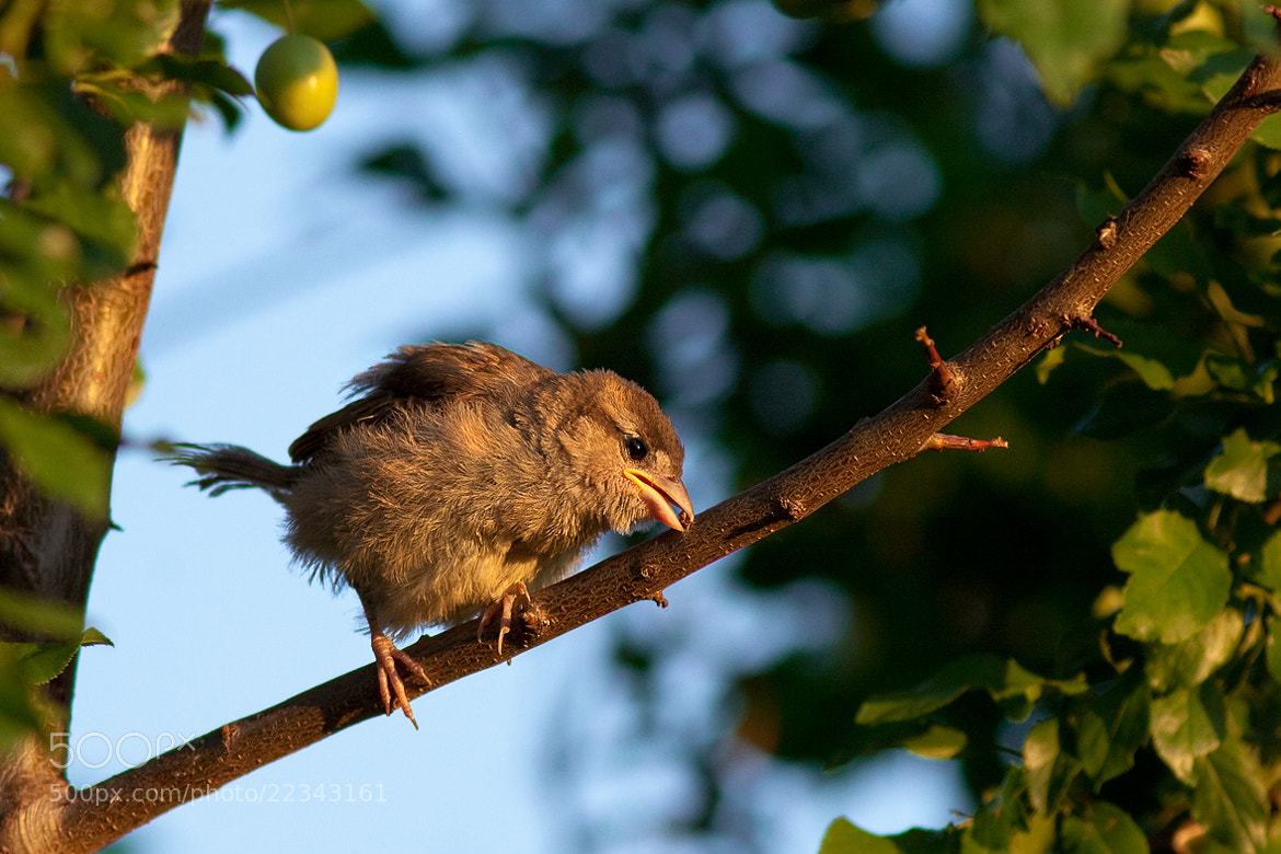 Photograph Young sparrow by Richard Krchnak on 500px