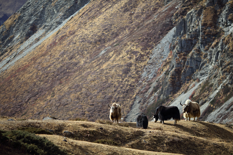 Photograph Yaks by Christian Rey on 500px