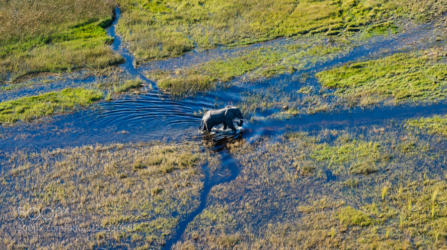 aerial shot of of an Elephant crossing a floodplain in the Okavango Delta. Photo taken on a scenic flight close to Maun, Botswana