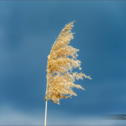 Beautiful dry spikelets on the sun, summertime
