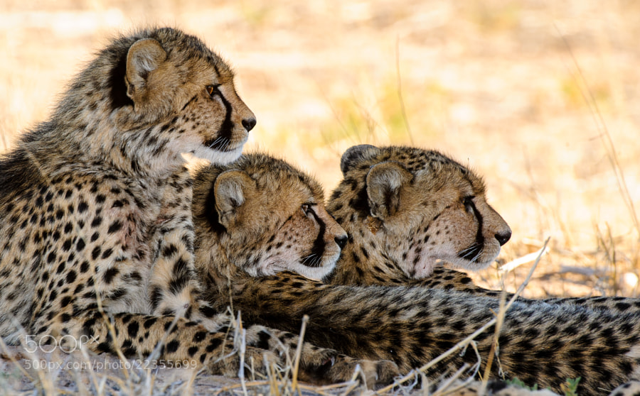 three of Lisettes cubs lying in the shade looking at some wildebeest, close to Mata Mata. one of my last shots on that trip and a nice way of the KTP to say good-bye....