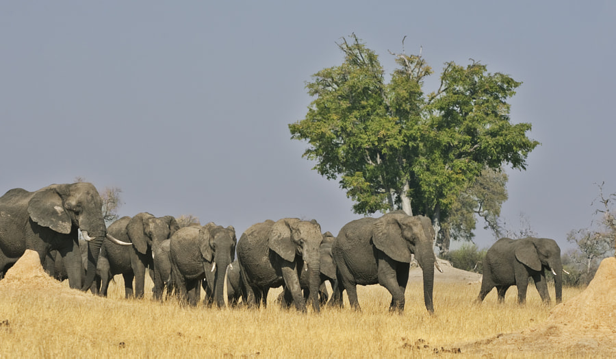 A small herd approches Ngweshla waterhole, Hwange NP, Zimbabwe, 3rd September 2011.  Taken whilst sitting on camping chair!