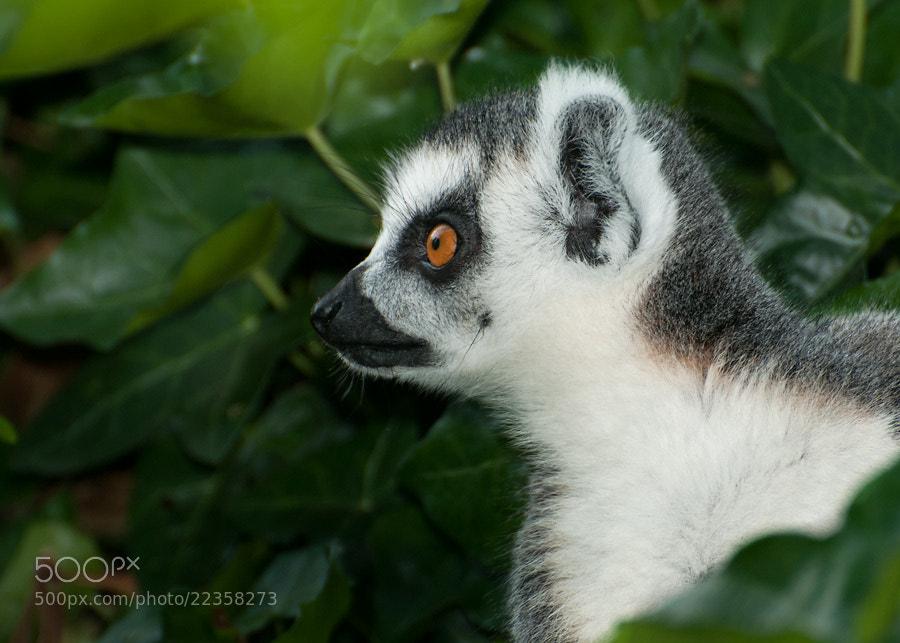 Photograph Ringtail Lemur by Henrik Vind on 500px