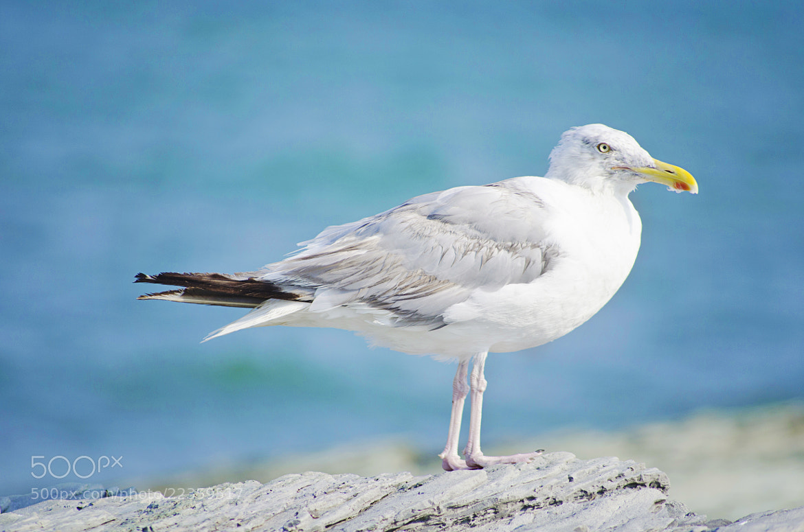 Photograph The Larus canus by Walter Lopez on 500px