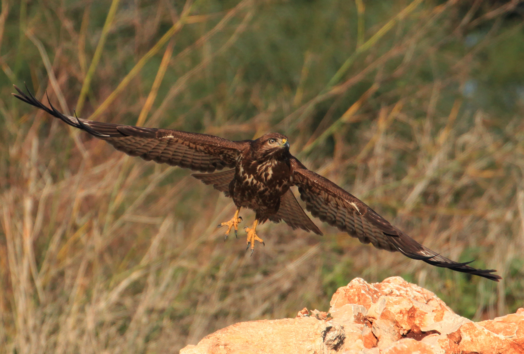 Photograph Buzzard flight by Gaia Sherf on 500px