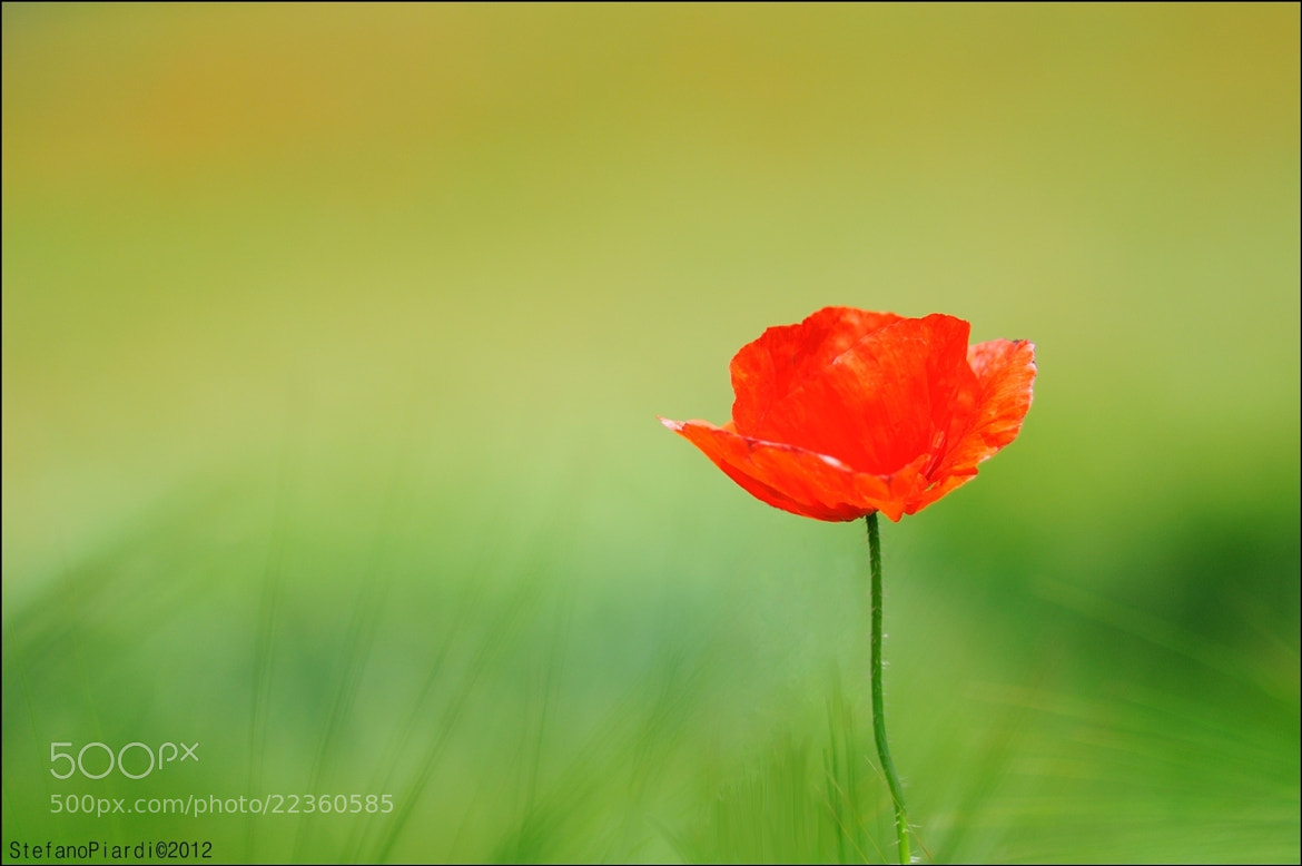 Photograph Poppy in a wheat field by Stefano Piardi on 500px