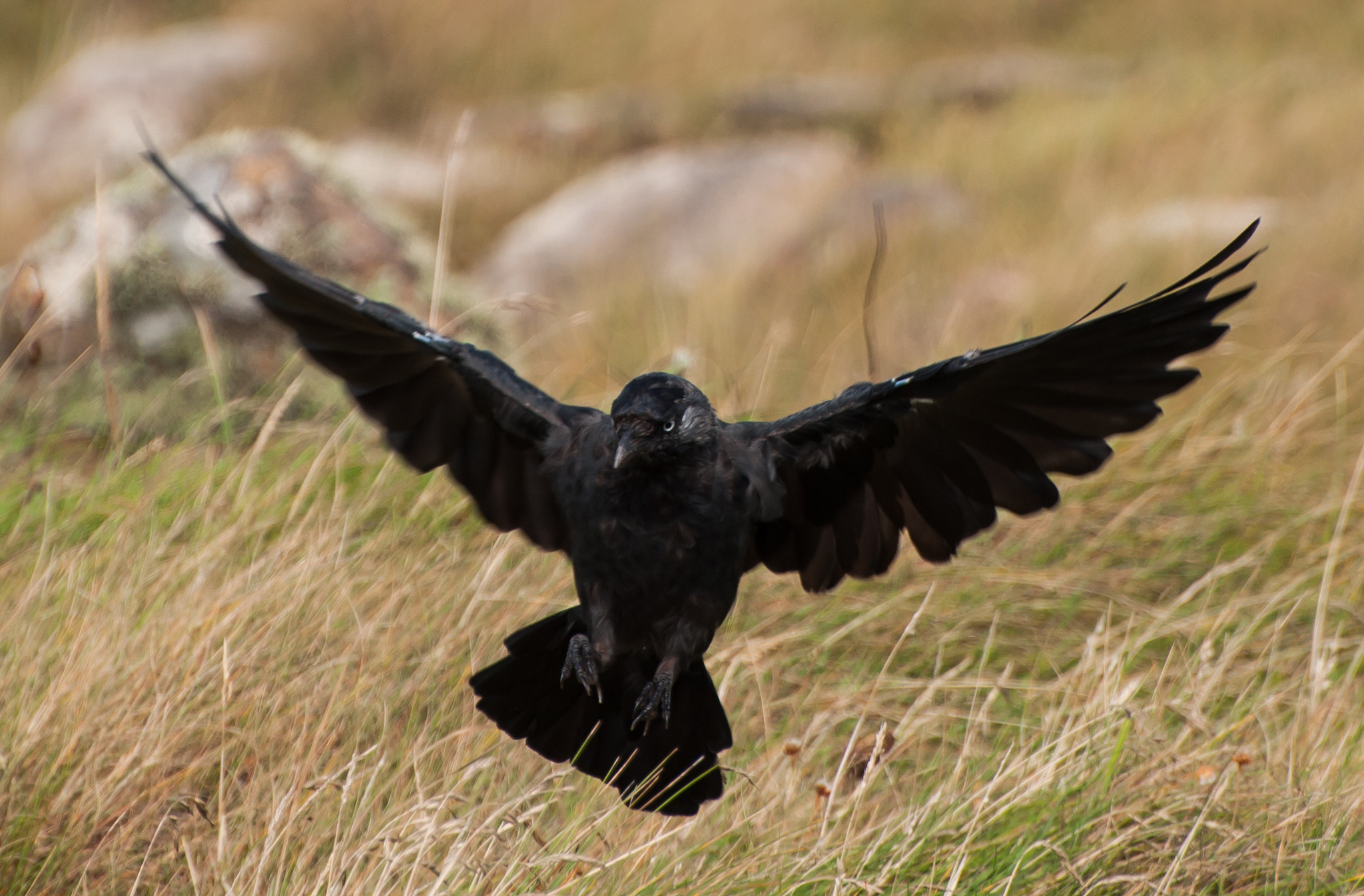 Photograph Jackdaw by Phil Scarlett on 500px