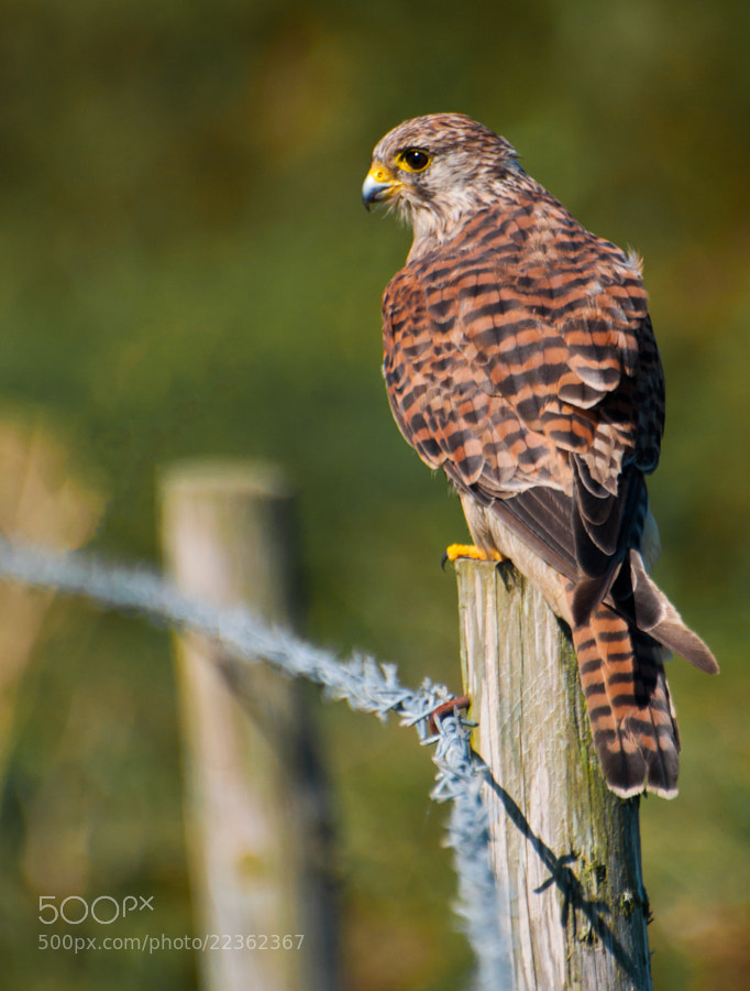 Photograph Female Kestrel by Phil Scarlett on 500px