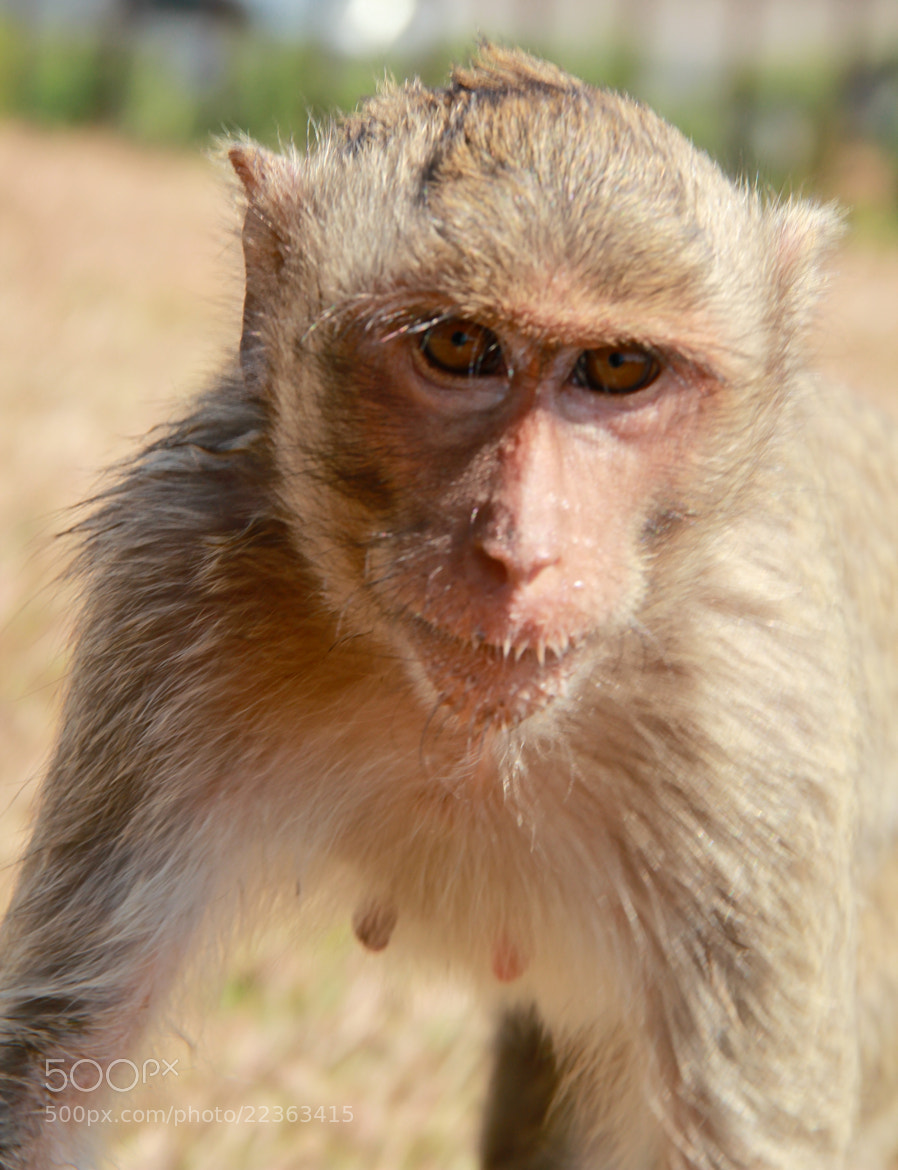 Photograph crab-eating macaque by Tamas Serfozo on 500px