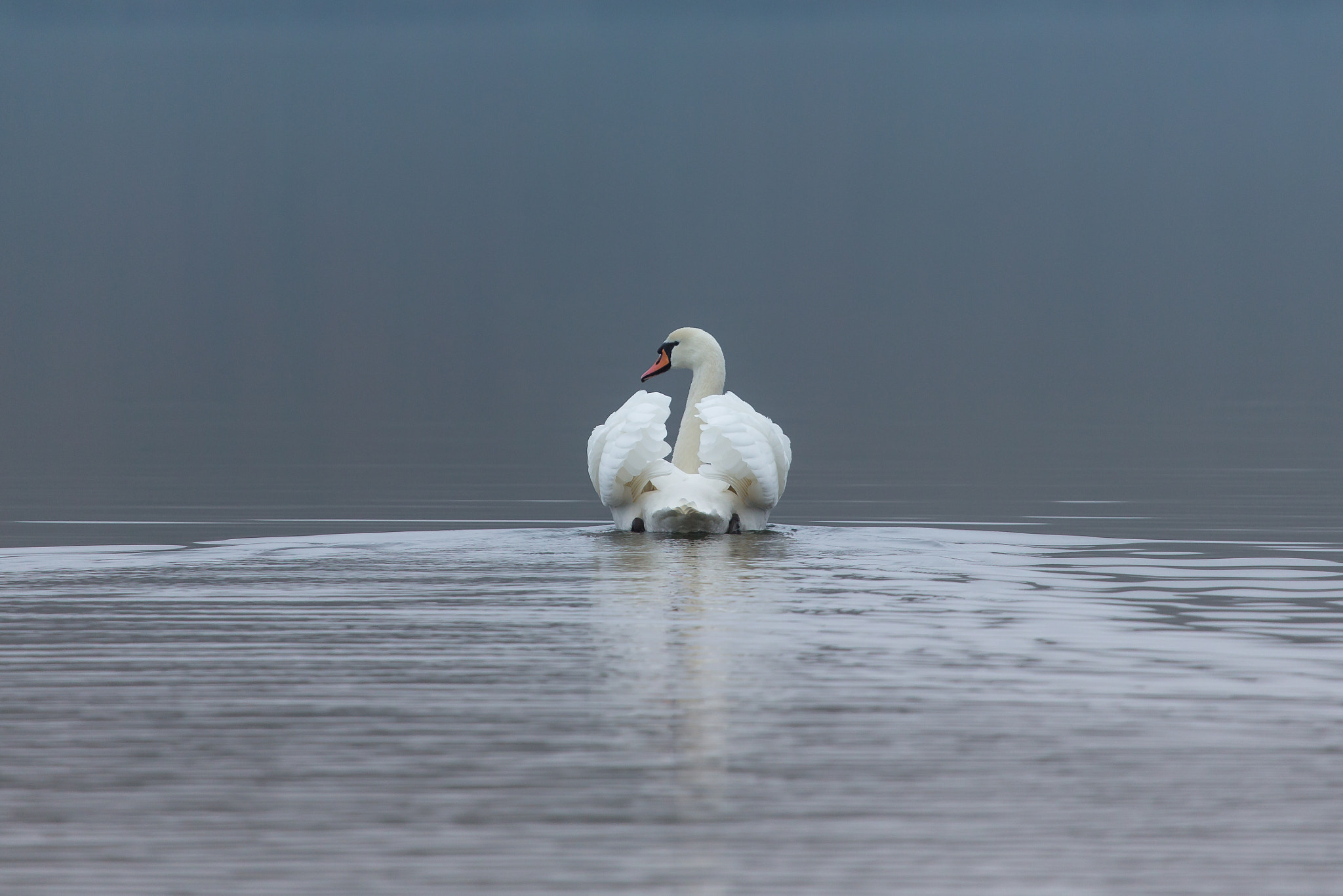 Photograph Swan by Kimmo Peltola on 500px