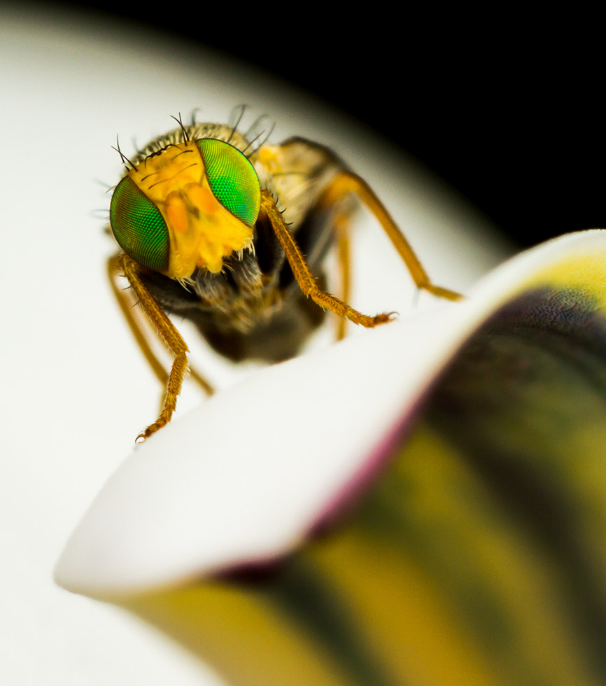 Photograph Fruit Fly with attitude by Michael Wrankmore on 500px