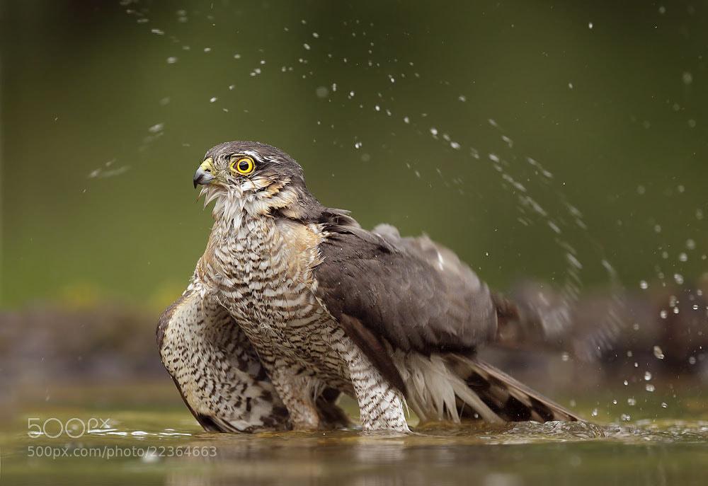 Photograph Eurasian Sparrowhawk by Mirek Zítek on 500px