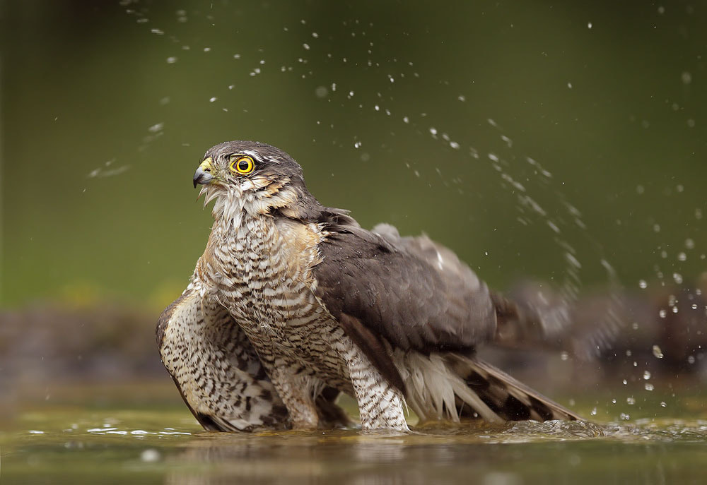 Photograph Eurasian Sparrowhawk by Mirek Zítek on 500px
