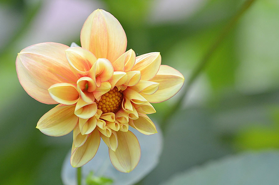 Photograph Dahlia by Margarita from Klaipeda on 500px