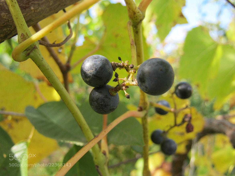 Photograph Grapes by anzorikooo gabunia on 500px