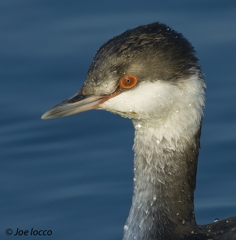 Photograph Horned Grebe by Joe Iocco on 500px