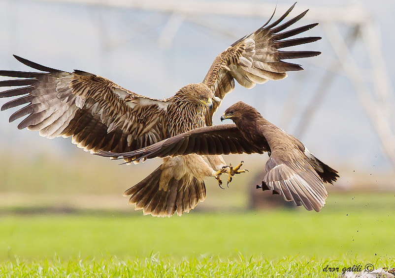Photograph imperial eagle---greater spotted eagle by dror galili on 500px