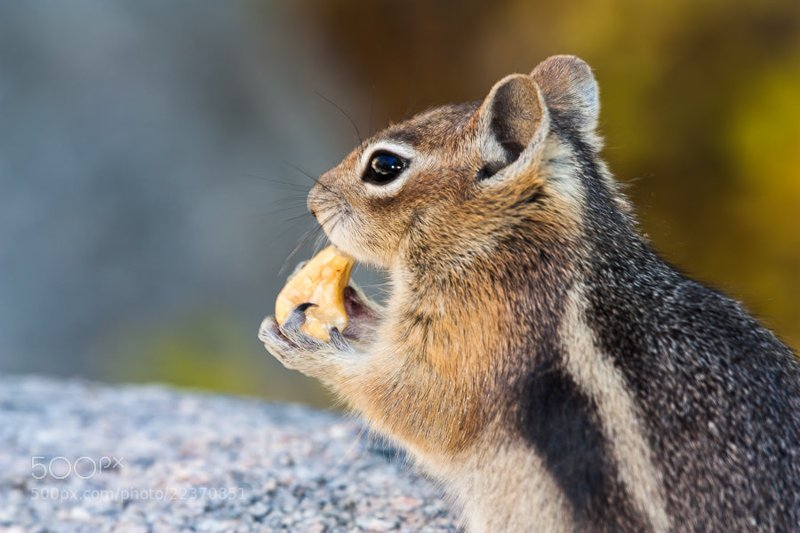 Photograph .: Golden Mantled Squirrel :. by Jon Rista on 500px