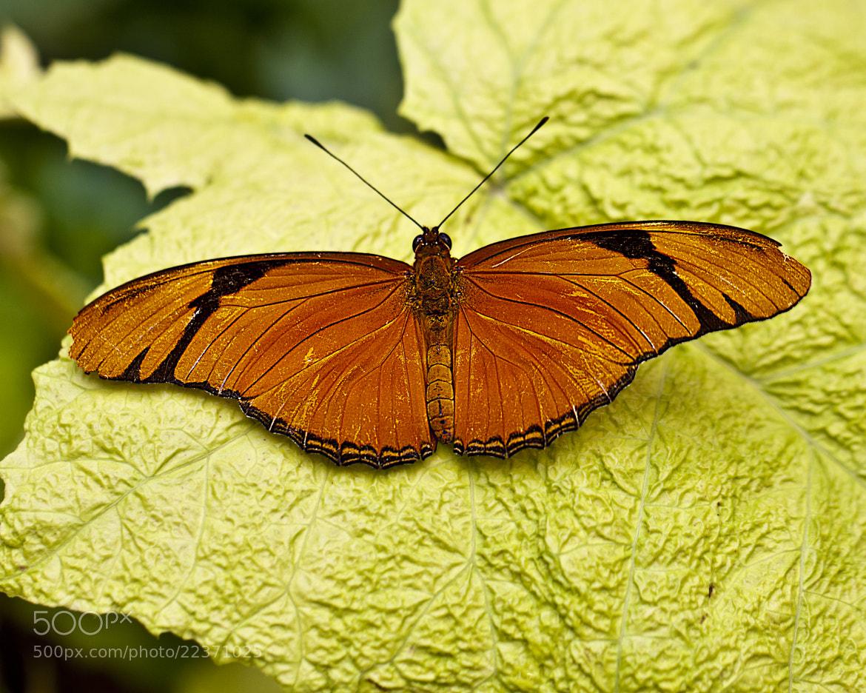 Photograph Julia Longwing (Dryas iulia) by John Mead on 500px