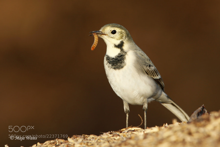 Photograph Bela pastirica/ White wagtail by Maja Waiss on 500px