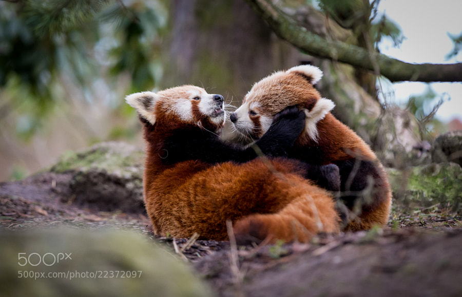 Photograph Playing red panda cubs by Frank Rønsholt on 500px