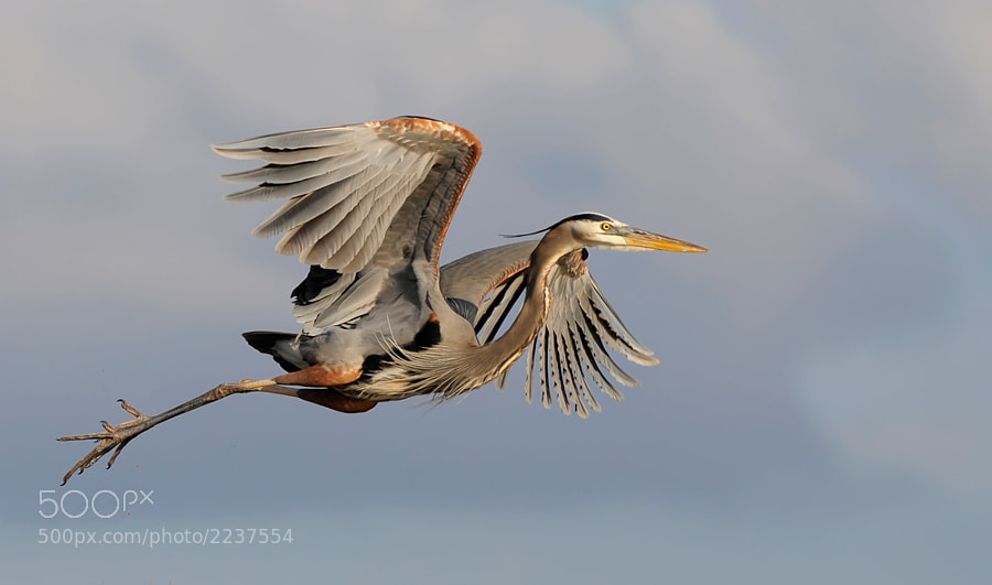 The Great Blue Heron had just brought back nesting material and was returning to hunt for more.  During the mating season these birds are a real pleasure to watch as are so many other species during the courting time.