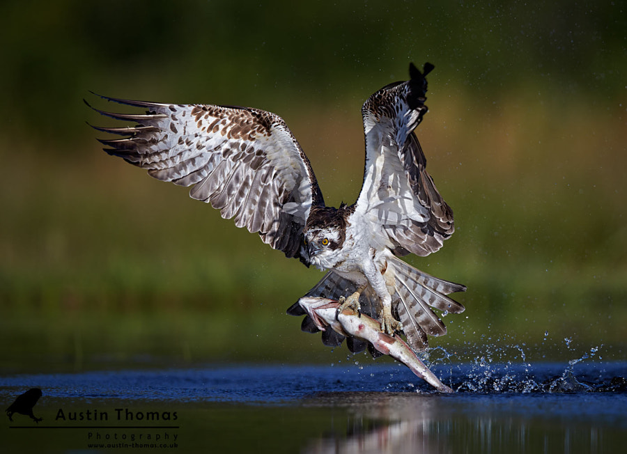 Osprey One, Trout Nil