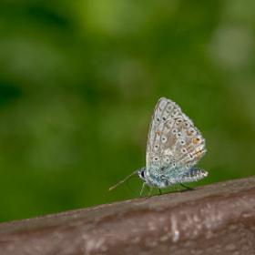 Butterfly im Allgäu