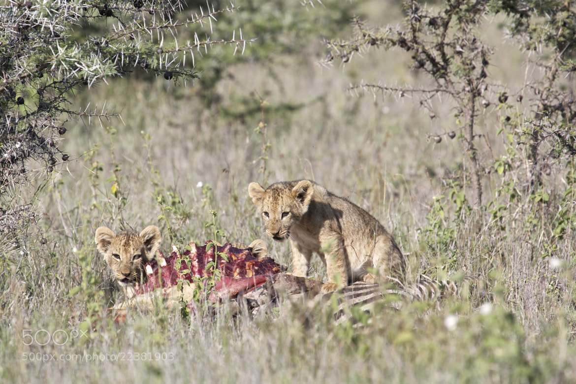 Photograph Cubs on a Kill by William Evans on 500px