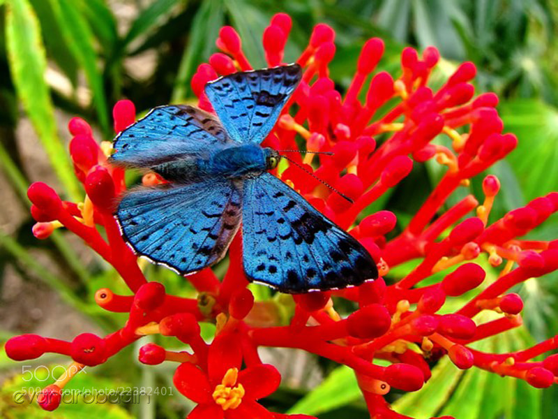 Photograph Blue buterfly by Evandro Badin on 500px
