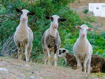 Three young sheeps