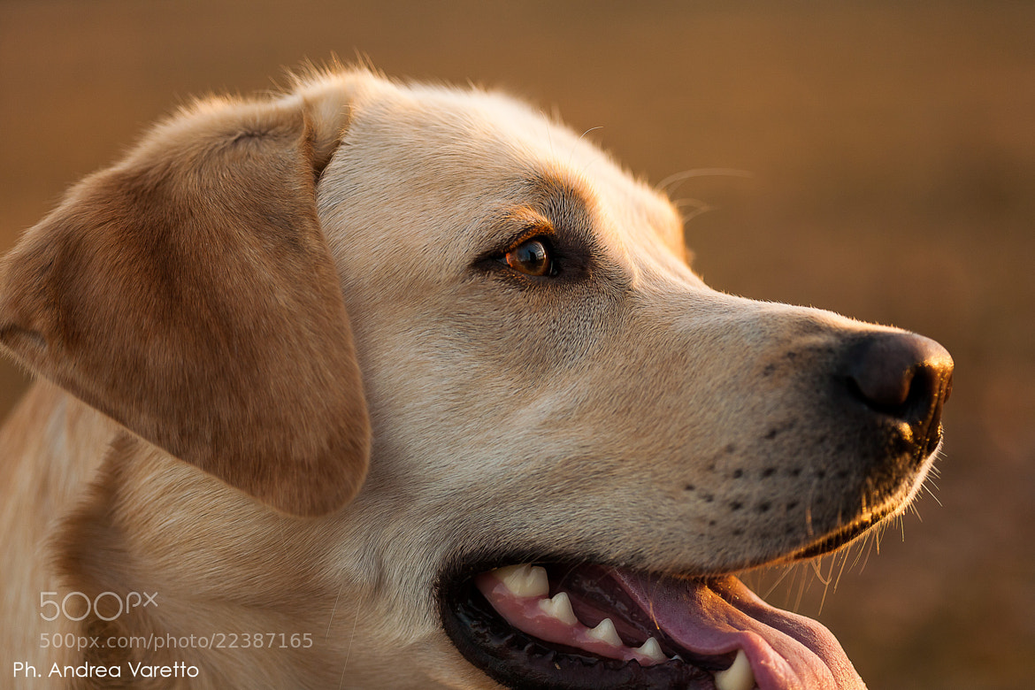 Photograph Eyes of Labrador #03 by Andrea Varetto on 500px