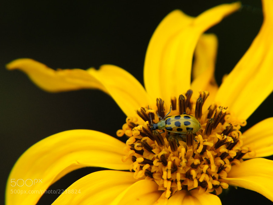 Cucumber Beetle on Yellow Flower