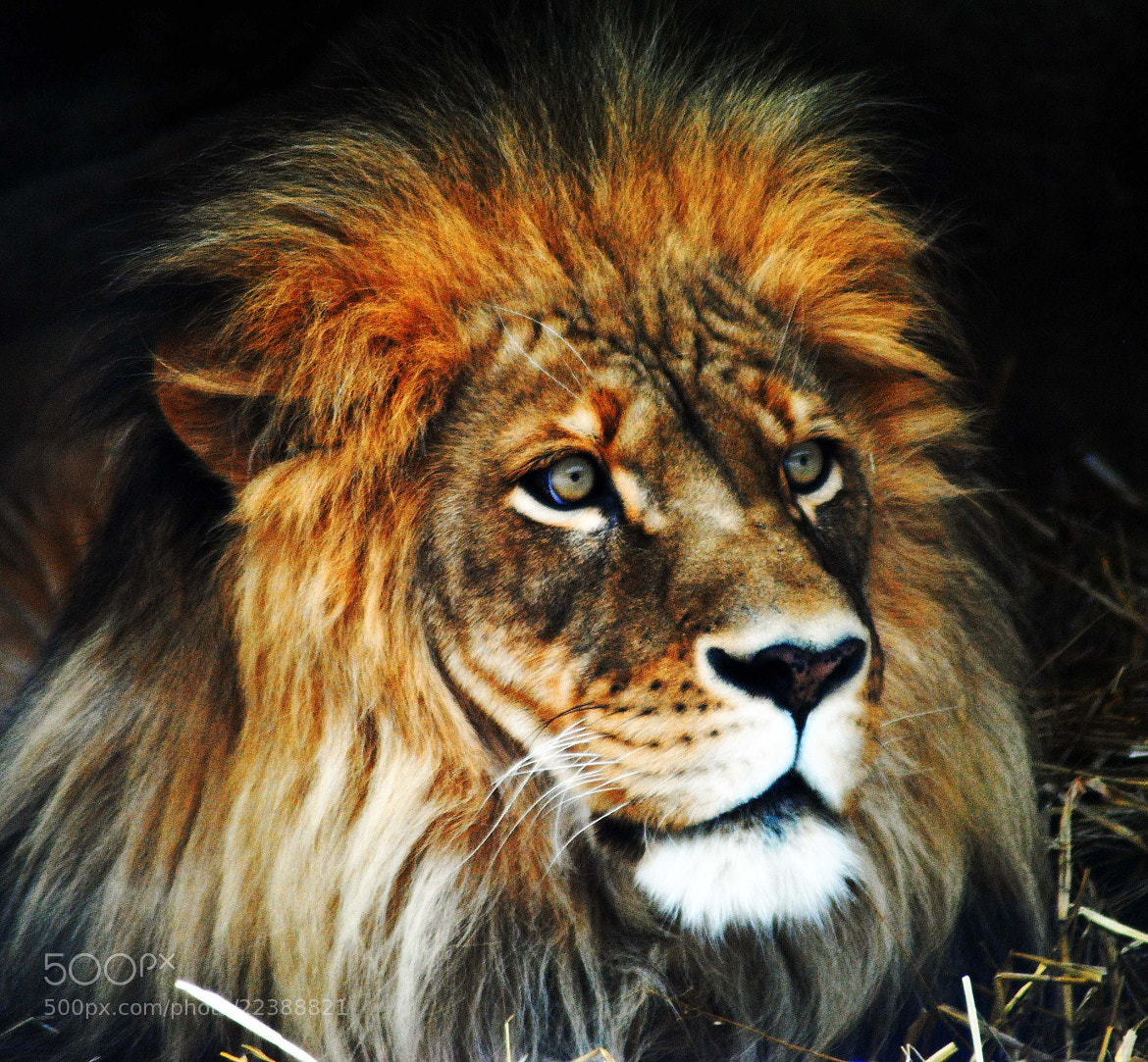 Photograph Big Cat Portrait by cheryl rendino on 500px