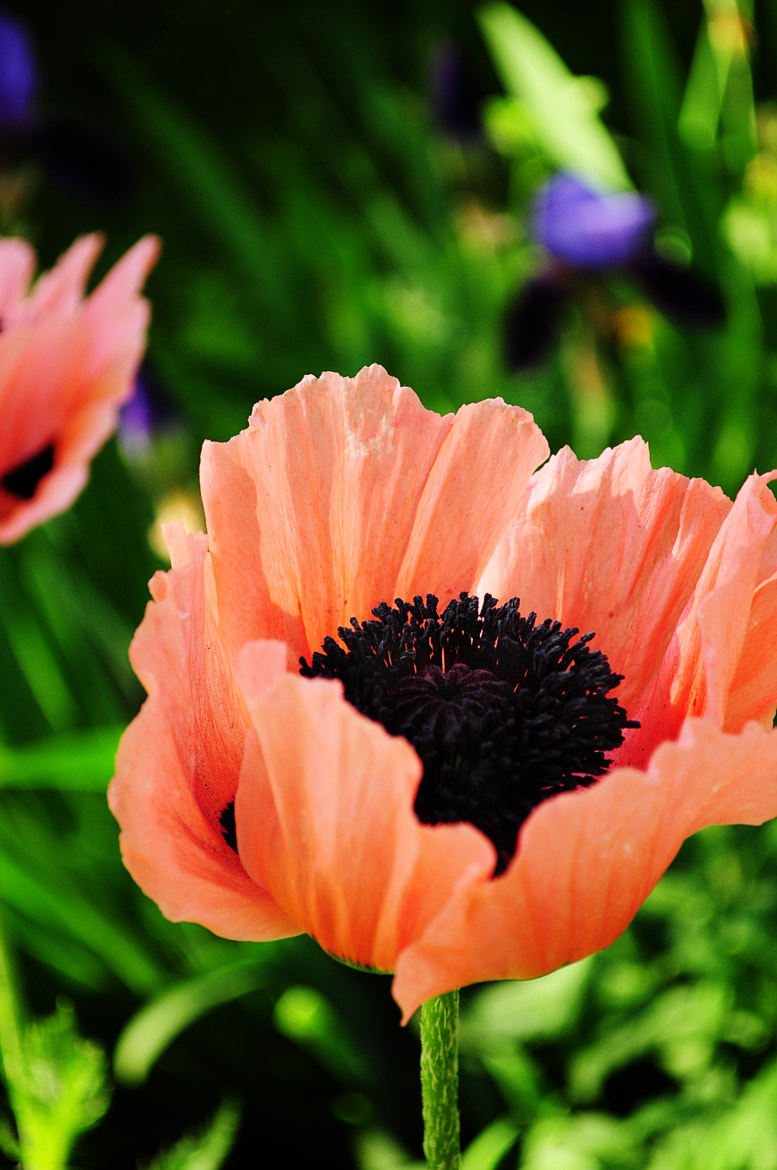 Photograph Perfect Poppy by Jenn Bowers on 500px