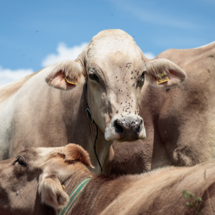 Sweltering Cows