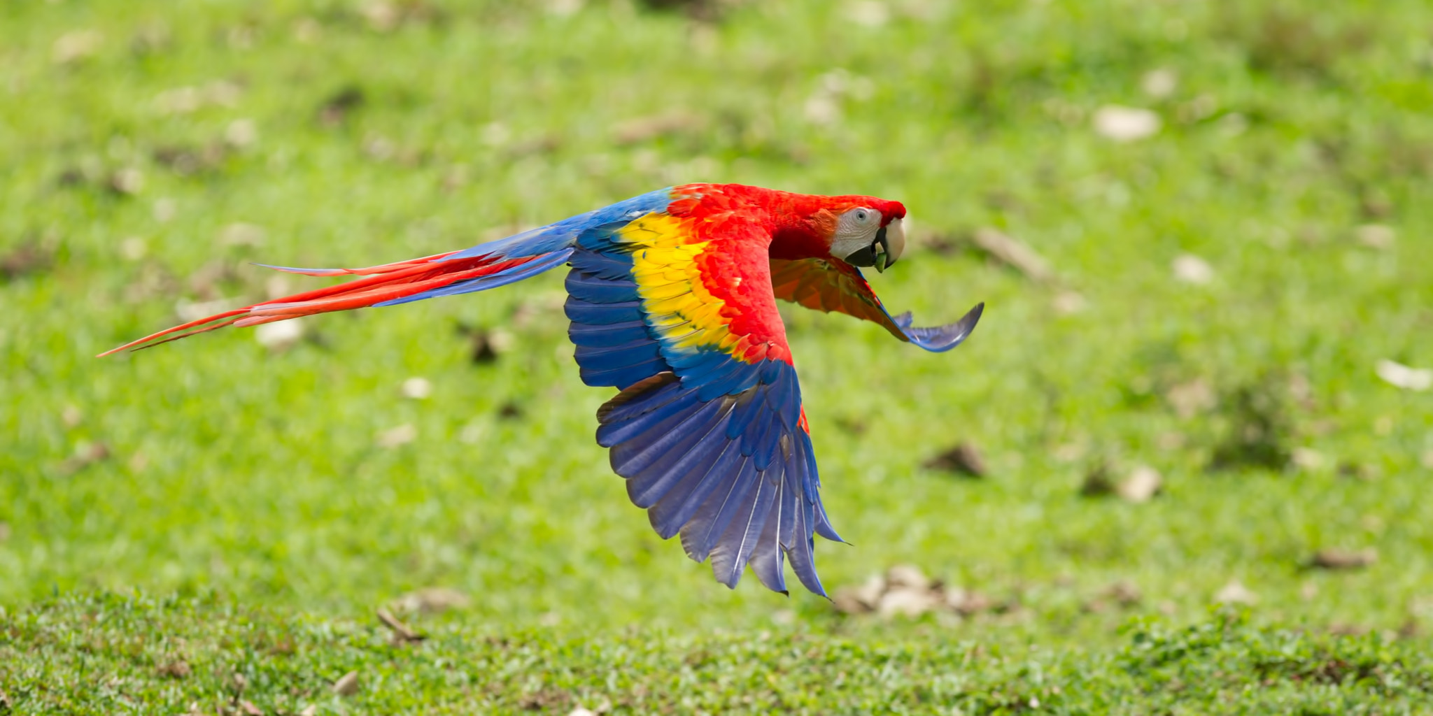 Photograph scarlet macaw by Gary Hamilton on 500px
