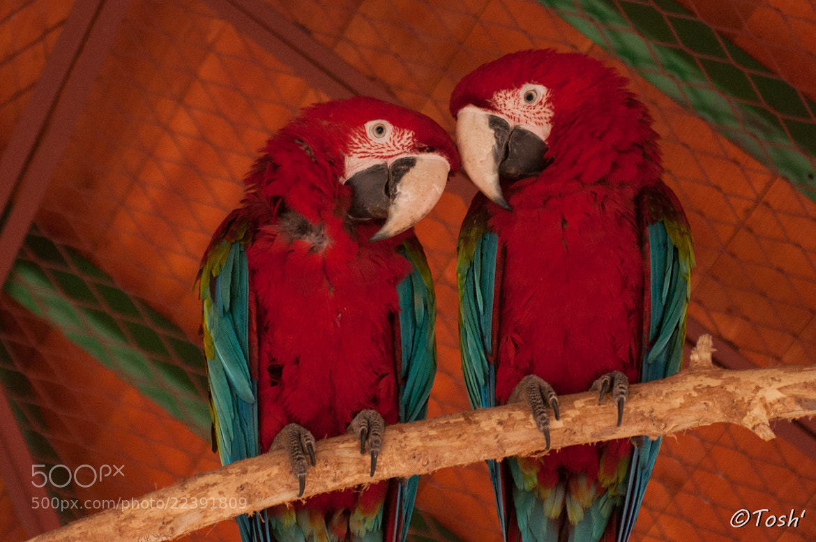 Photograph Parrots in love by Toshe Ognjanov on 500px