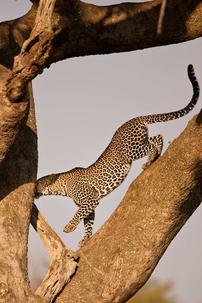 Photograph Leopard 15 by catman / www.suhaderbent.com on 500px